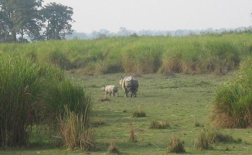 Rinocerontes en el Parque Kaziranga