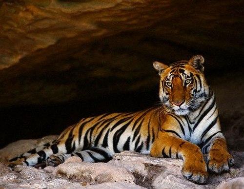 Dudhwa, Reserva de Tigres