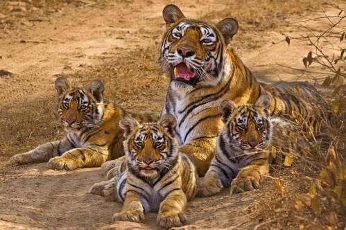 Parque Nacional Sariska, Reserva de Tigres
